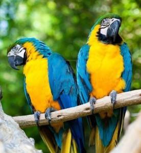 240657-parrots-blue-parrots